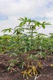 Manioka oder Tapioka wachsen heran Stockfoto