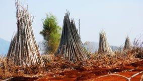 manioka lizenzfreie stockbilder