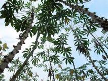 Manioka, Rohstoff, der zum biologischen Brennstoff verarbeitete, Thailand. stockbilder