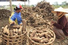 Manioka-Verarbeitung Stockbild