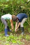 Manioka wurzelt Extraktion Lizenzfreie Stockbilder