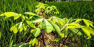 Maniokaanlagen in den Reisfeldgrenzen lizenzfreie stockfotos
