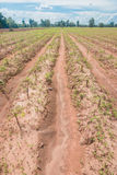 Maniokaanplanting Royalty-vrije Stock Foto's