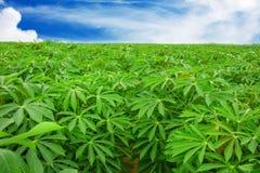 Maniokaanplanting ten noordoosten van Thailand royalty-vrije stock afbeelding
