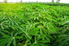 Maniokaanplanting ten noordoosten van Thailand stock foto