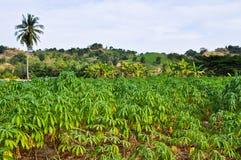 Maniokapflanzen Lizenzfreies Stockbild