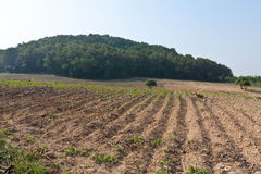 Maniokaplantage. Lizenzfreie Stockbilder