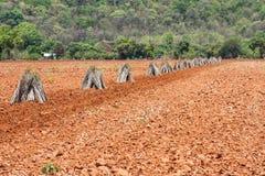 Maniokaplantage. Lizenzfreie Stockfotografie