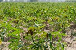 Maniokaplantage Stockfotografie