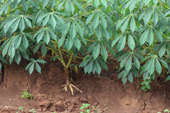 Maniokaplantage lizenzfreies stockbild