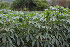 Maniokaplantage lizenzfreie stockfotografie