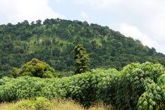 Maniokaplantage nahe dem Berg Stockfoto