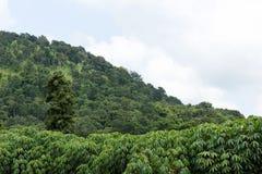 Maniokaplantage nahe dem Berg Lizenzfreie Stockbilder