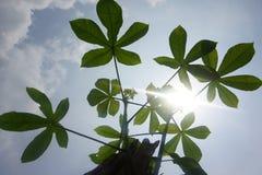 Maniokbladeren in een zonnige tuin stock fotografie