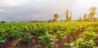 Maniokgebied met arbeiders Stock Afbeeldingen