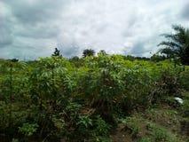 Manioklandbouwbedrijf stock afbeelding