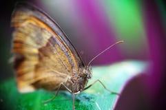 maniola jurtina бабочки Стоковое Изображение