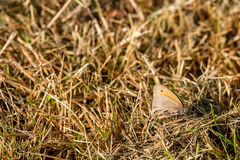 Maniola jurtina butterfly in the grass Stock Photos