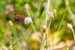 Maniola jurtina butterfly on pink flower. Stock Photos