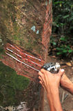 Manipulación del árbol de goma foto de archivo libre de regalías