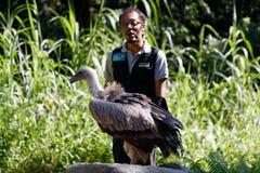 Manipulateur d'oiseau avec un vautour à capuchon au parc d'oiseau de Jurong image libre de droits