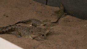 Manipulation du petit Orénoque Crocs, Wisirare, Colombie banque de vidéos