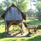 Manitoban elk Royalty Free Stock Images