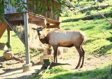 Manitoban elk Royalty Free Stock Image