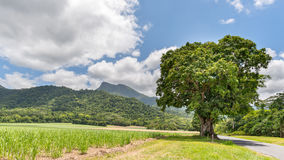 Manjal Dimbi (Mount Demi), sugar cane, Mango tree,  Mossman Gorge Royalty Free Stock Photography