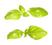 A manjericão deixa o close up da especiaria isolado no fundo branco Fotos de Stock