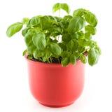 Manjericão em um potenciômetro vermelho da planta Imagem de Stock Royalty Free