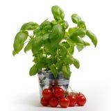 Manjericão em uma cubeta do metal, tomate Foto de Stock Royalty Free