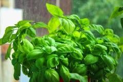 manjericão fresca no potenciômetro no jardim do balcão Imagem de Stock Royalty Free