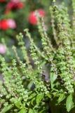 Manjericão na semente fotografia de stock