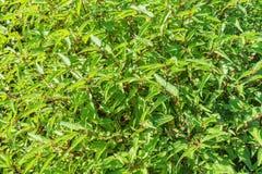 Manjericão na vila dos vegetais de Tra Que, província de Quang Nam, Vietname Imagem de Stock