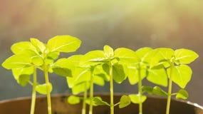 A manjericão nova brota nos raios de luz solar Imagem de Stock