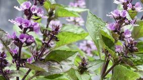 Manjericão picante da grama perfumada Imagem de Stock