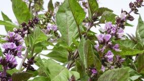 Manjericão picante da grama perfumada Imagens de Stock Royalty Free