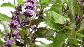 Manjericão picante da grama perfumada Foto de Stock