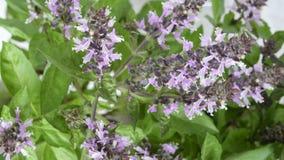 Manjericão picante da grama perfumada Foto de Stock Royalty Free