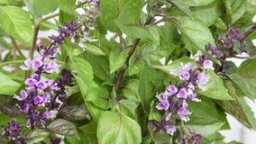 Manjericão picante da grama perfumada Imagem de Stock Royalty Free