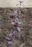 Manjericão roxa no jardim Imagens de Stock
