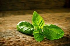 Manjericão verde Fotografia de Stock