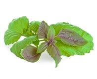 Manjericão verde e roxa Imagem de Stock Royalty Free