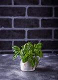 Manjericão verde fresca Imagens de Stock