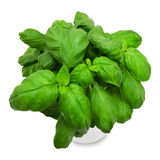 Manjericão verde fresca em um potenciômetro Fotos de Stock