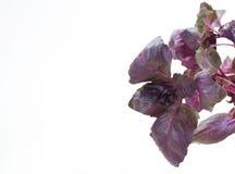 Manjericão violeta Imagem de Stock Royalty Free