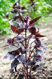 Manjericão violeta Foto de Stock