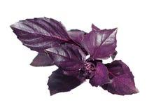 Manjericão violeta fresca isolada no branco Fotografia de Stock Royalty Free