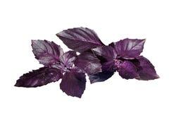 Manjericão violeta fresca isolada no branco Fotos de Stock Royalty Free